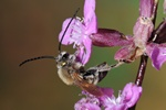 Eucera longicornis